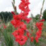 Zone 5 hardy gladiolus