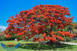 Flamboyant Tree in full bloom