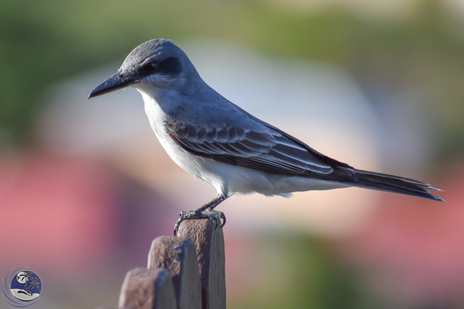 Grey Kingbird