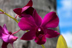 Orchid at South Point Antigua