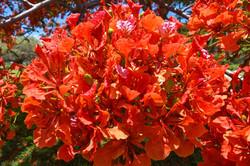 Flamboyant Flowers