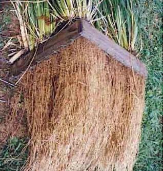 Propriedades do capim vetiver para controle da erosão no solo