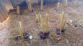 Capim vetiver em solo compactado para recuperação demargem delago