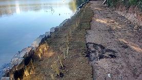 Uso decapi vetiver na recuperação de margem de lago erodida