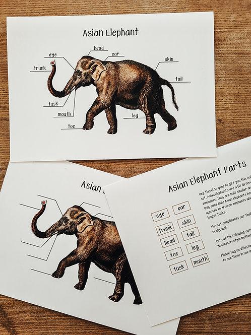 Asian Elephant Anatomy