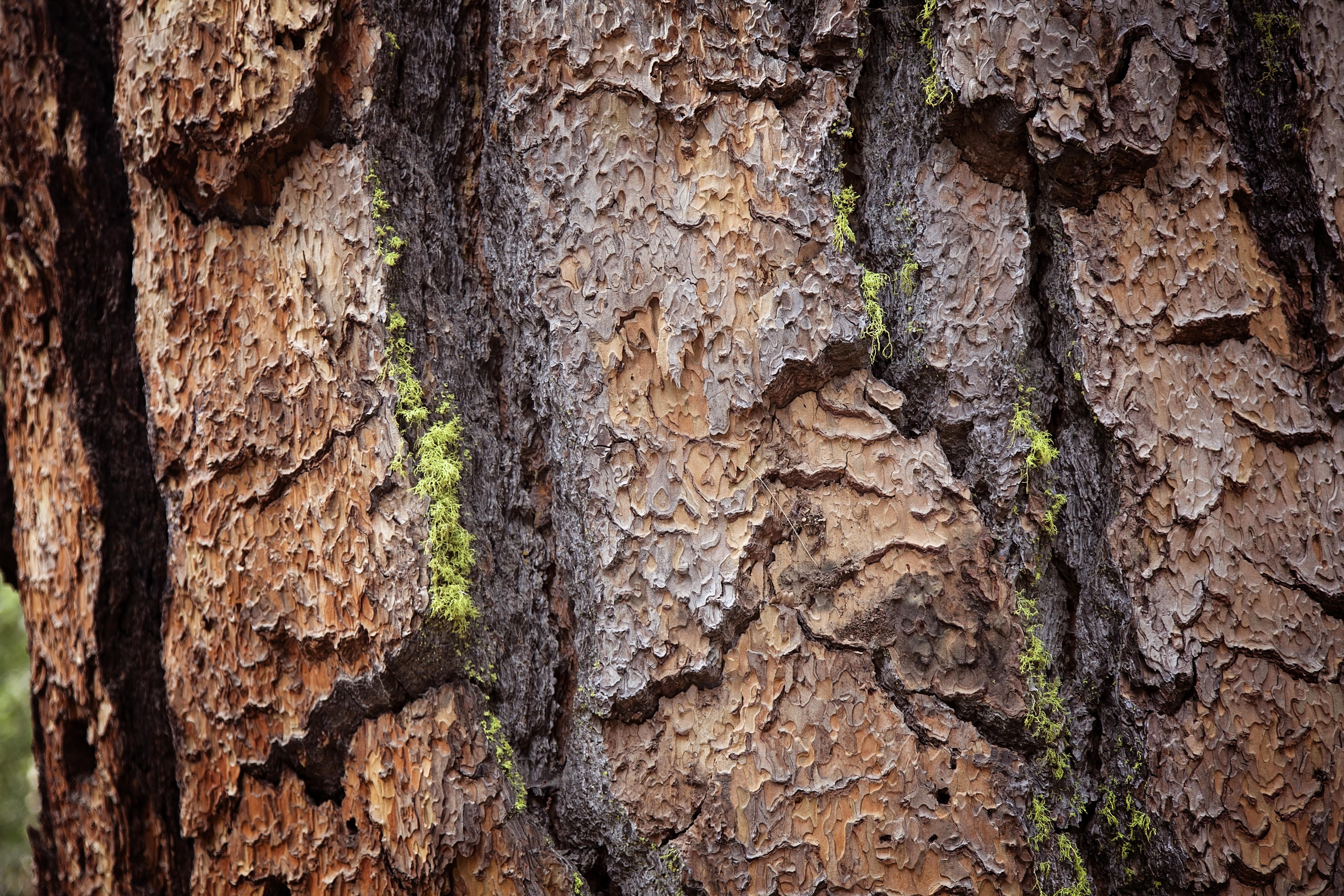 Yosemite Redwood
