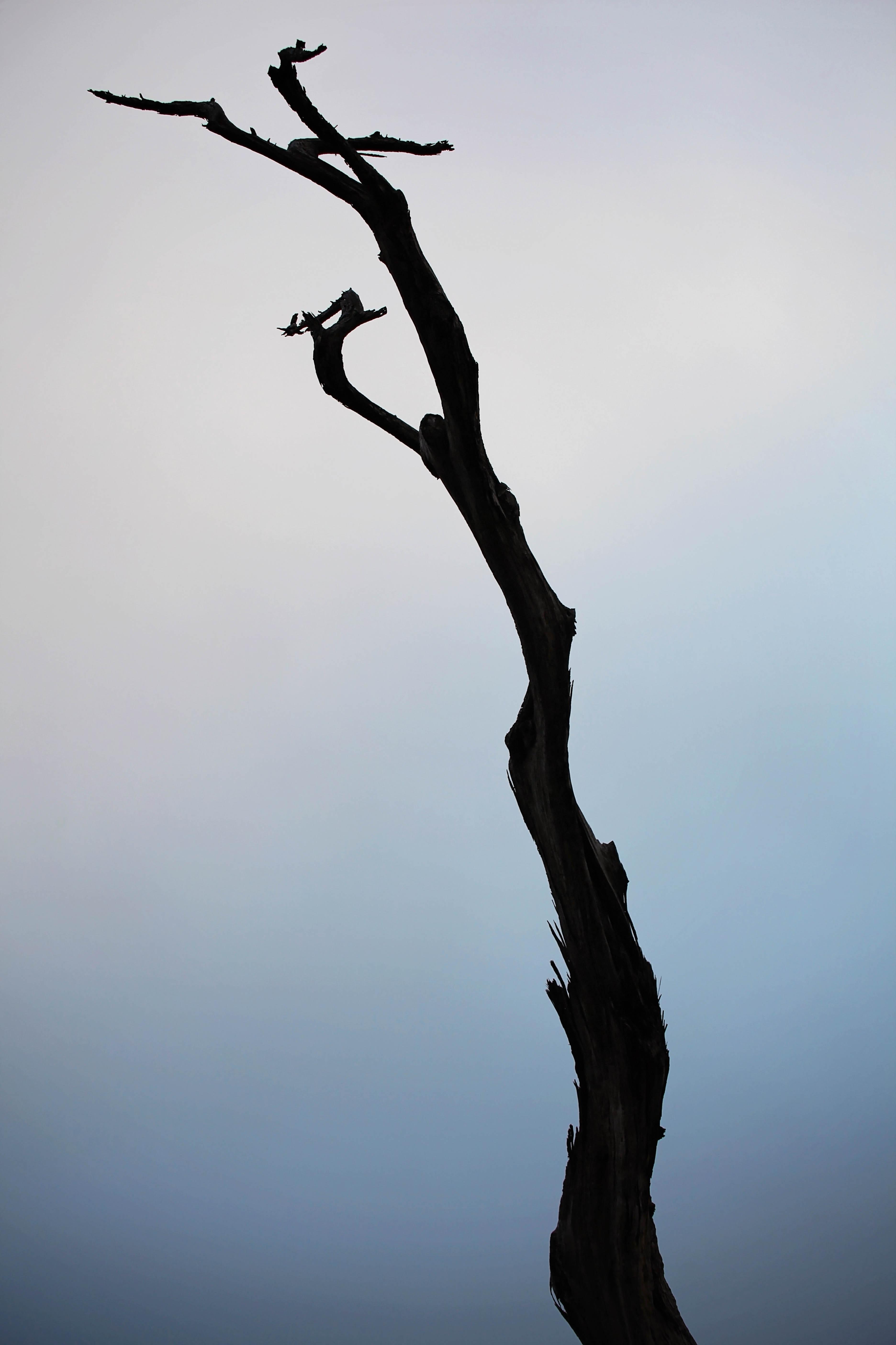 monterey tree