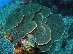 神津島 珊瑚