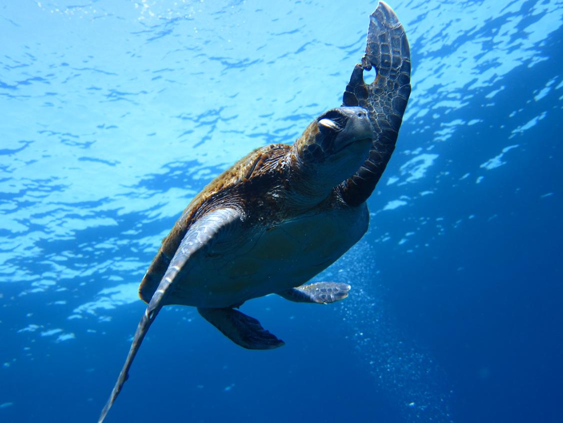 神津島 アオウミガメ