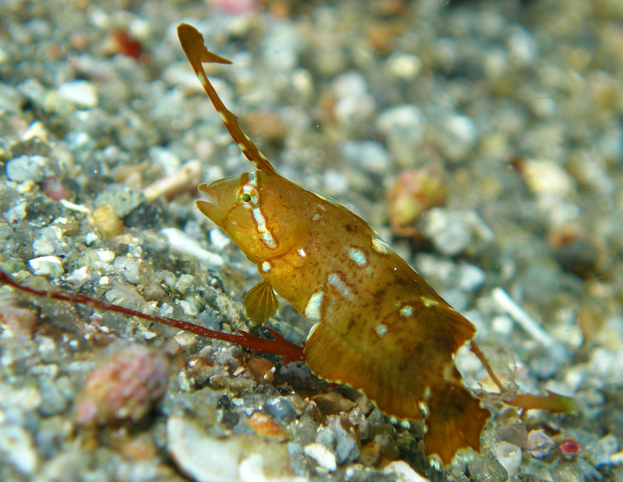 神津島 テンス幼魚