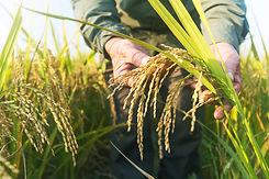 Vert Coquelicot rizière camargue