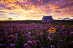Boarhills sunflower