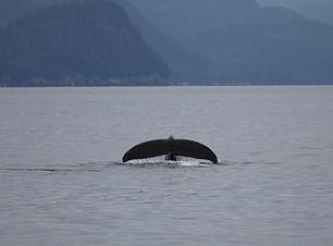 humpback-whale-fluke-in-the-sea-in-alask