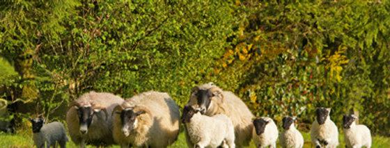 Streuobstwiesen-Lamm vom Niederrhein
