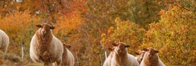 Streuobstwiesen-Schaf vom Niederrhein