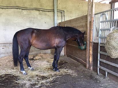 muskelabbau pferd