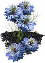 nigella flower.png