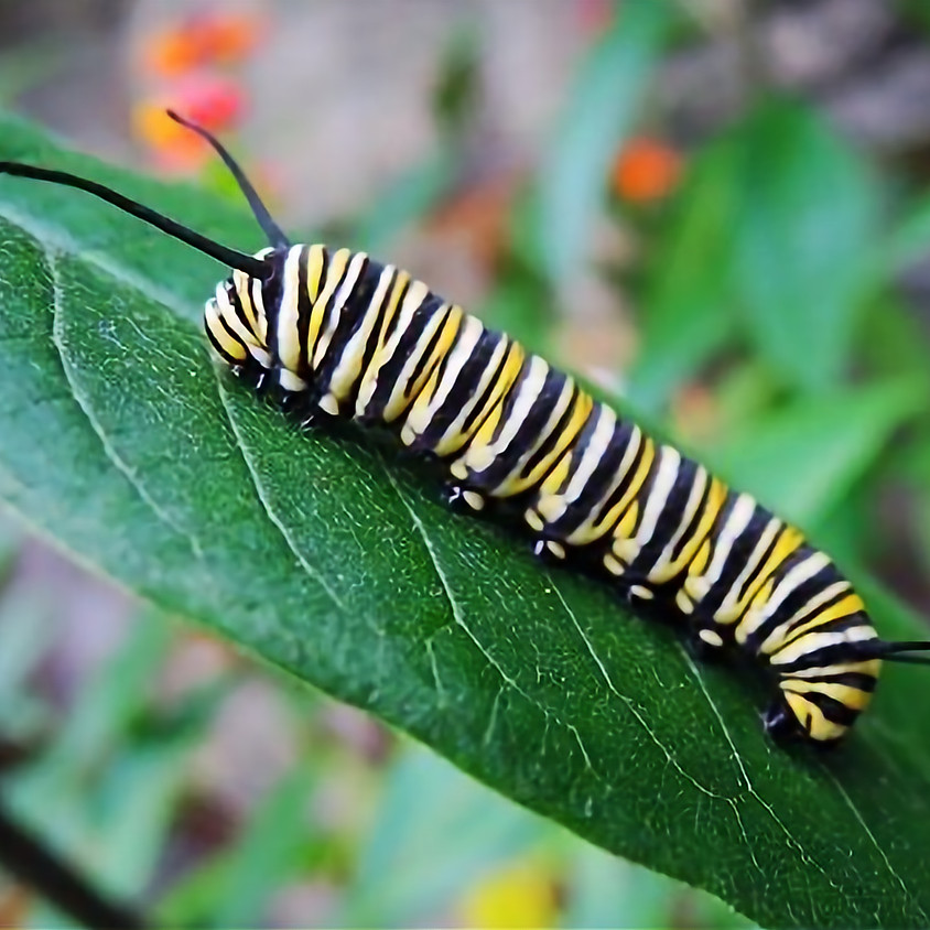 $ 100 Monarch Caterpillar Sponsorship Level