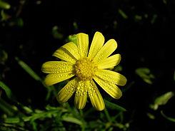 FLOWER.HEAD.S.LAUTUS.JPG