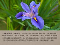 12號處方之生物動力鳶尾花