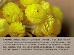2號處方之生物動力蠟菊