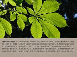 1號處方之有機七葉樹