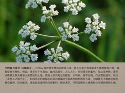 6號處方之生物動力蓍草