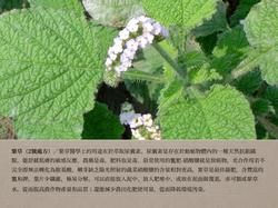2號處方之紫草