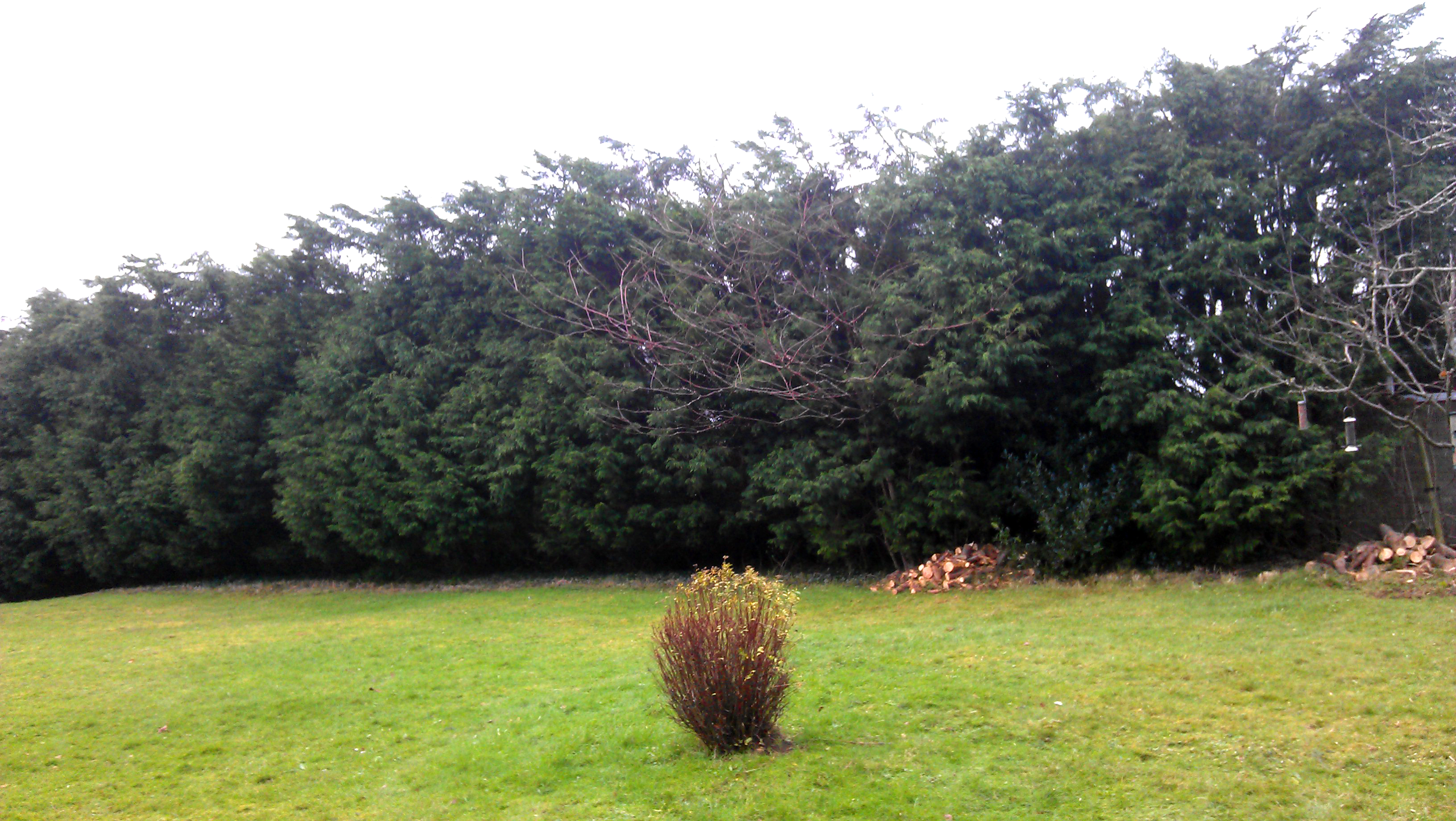 Leylandii Hedge after reducing