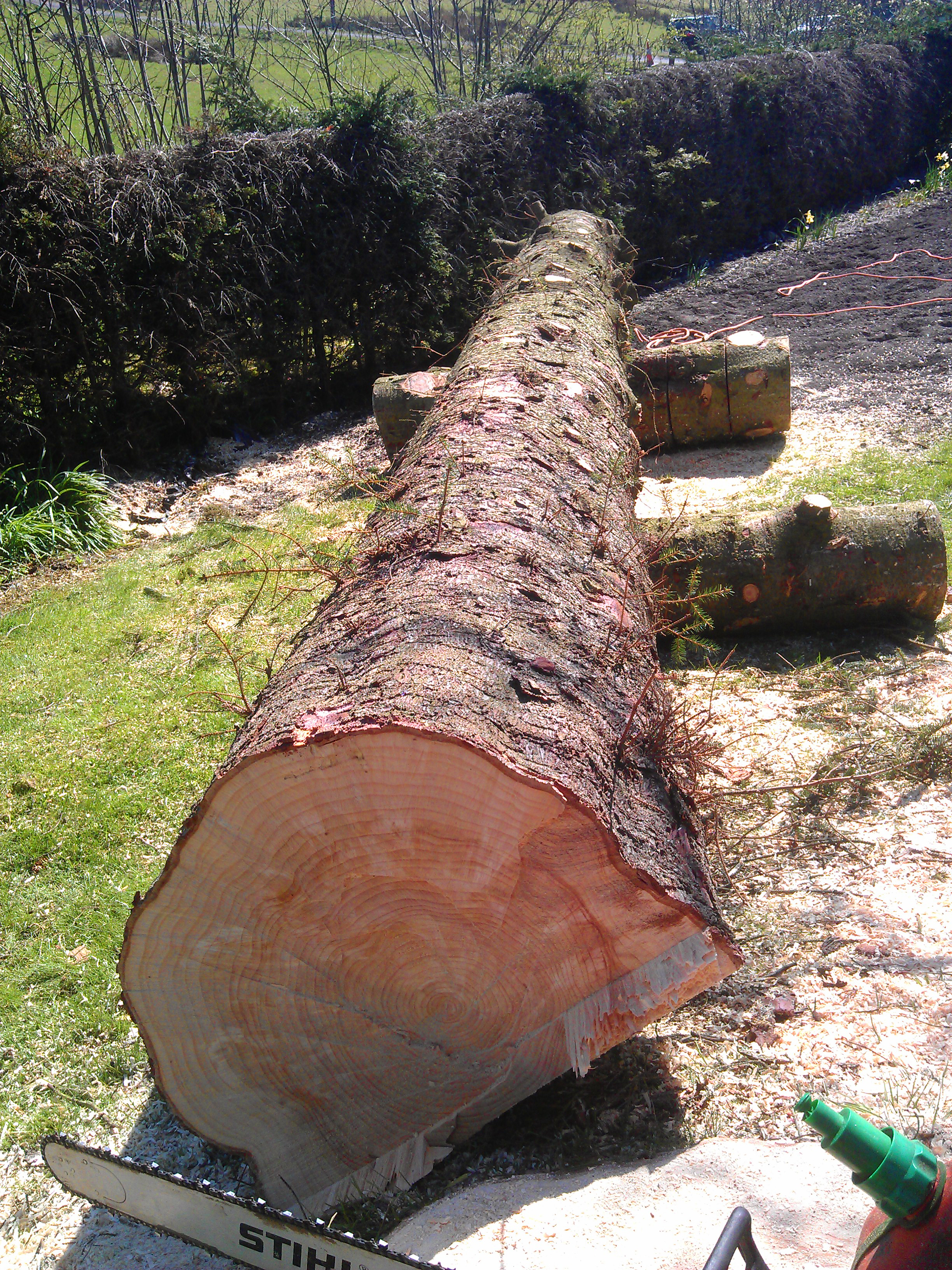 Sitka Spruce Tree Logged