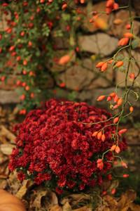 Червена хризантема