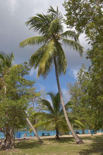 St Thomas Palm Trees