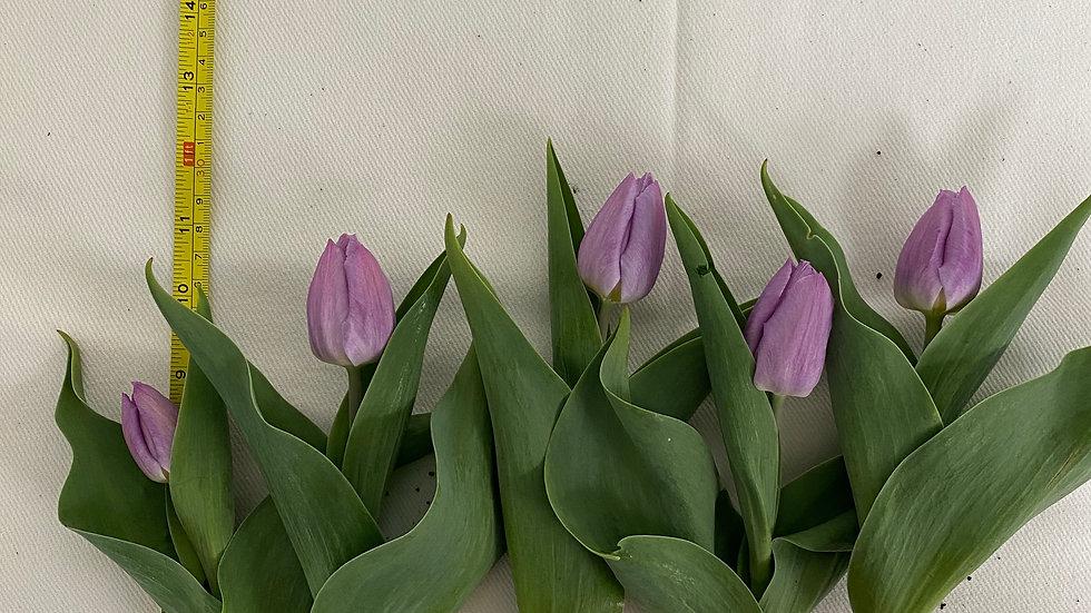 Soft purple single tulips