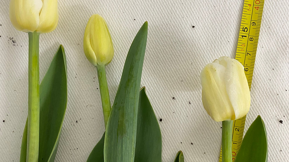 Cream single tulips