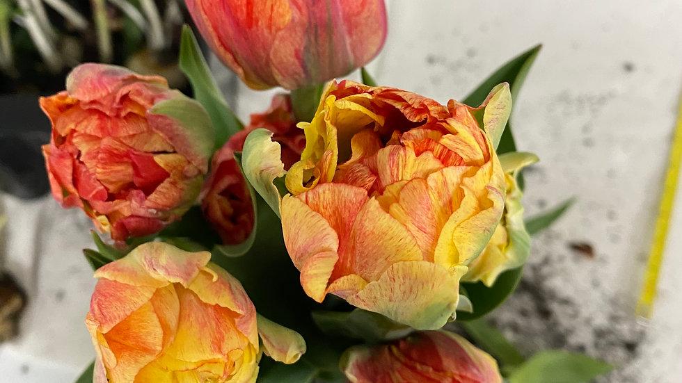 Growers pick double tulips