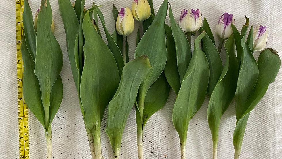 Growers pick single tulips