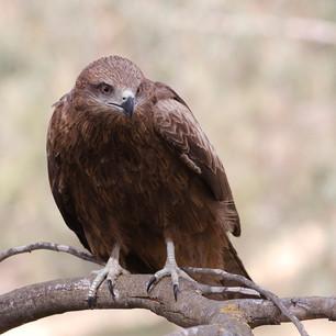 Anacapa Peregrine Falcon Webcam