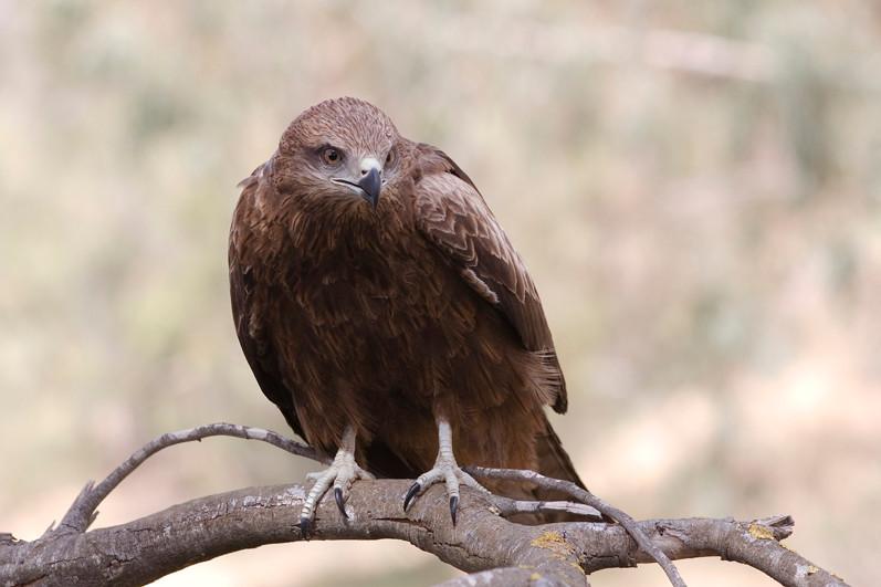 Picture of a hawk or falcon, origin of haggard