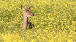 Biche dans le colza jaune 01.jpg