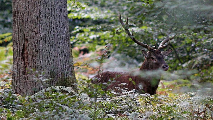 Cerf_derrière_arbre_01.jpg