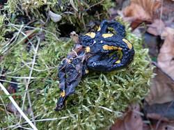 salamandre dévorée
