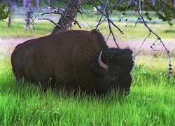 Bison d'Amérique -Yellowstone