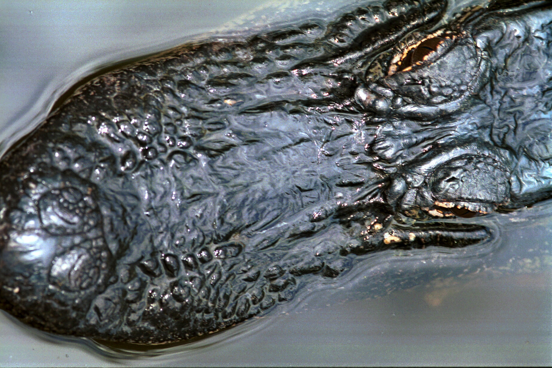 Alligator Louisiane