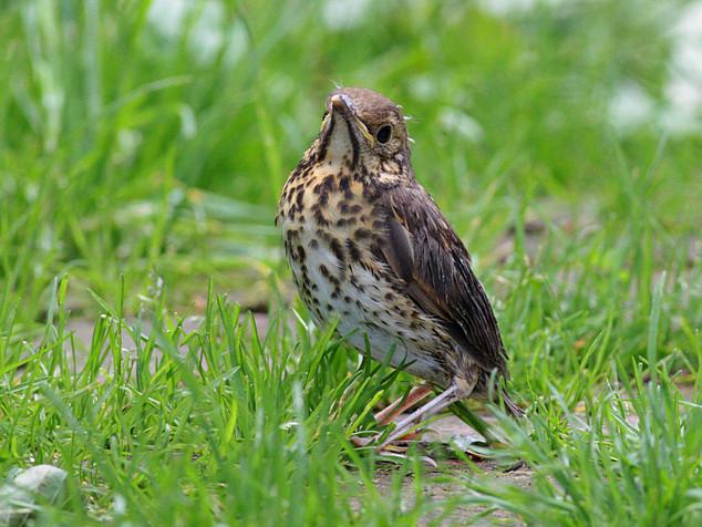 Grive draine jeune hors du nid