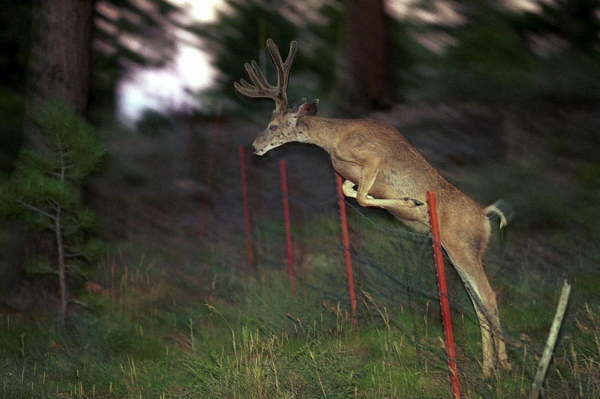 Deer - Bryce canyon