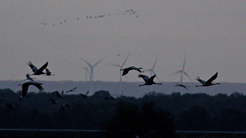 Grues envol devant les éoliennes