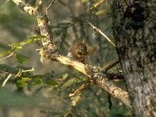 Ecureuil canadien avec graine d'épicéa