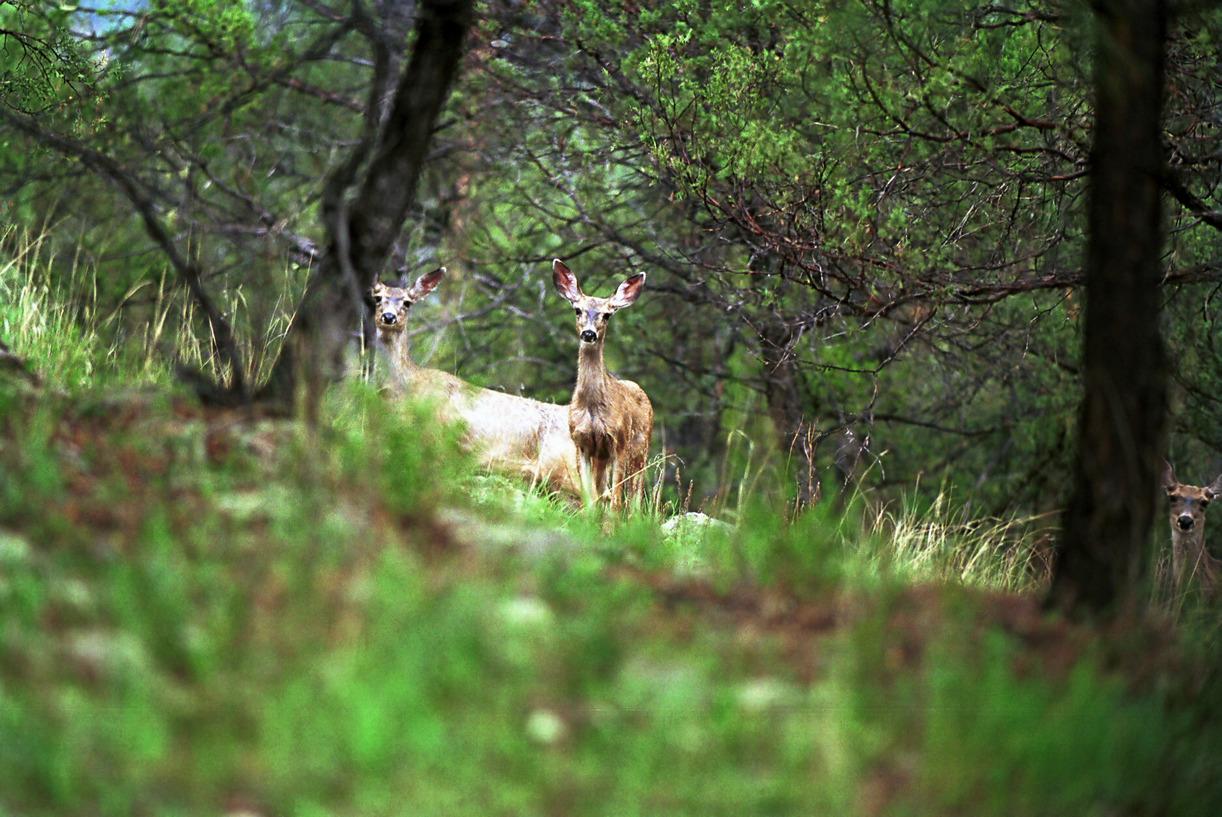 Deers - Nouveau Mexique