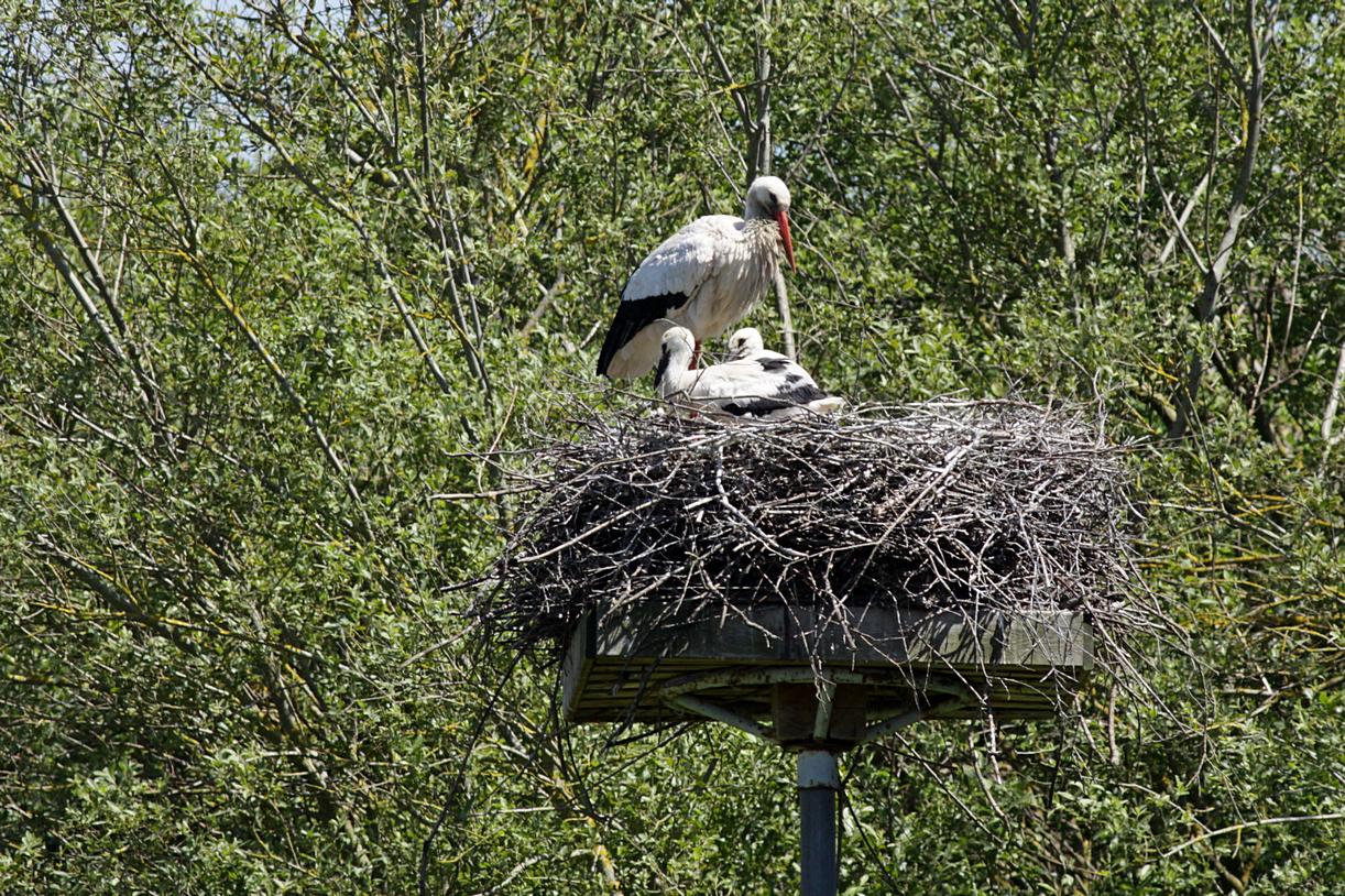 Cigogne et petits au nid