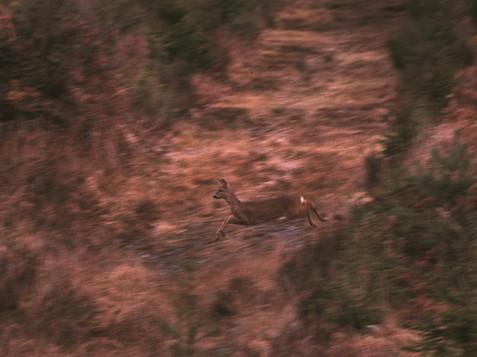 Chevreuil sautant le chemin en Andaine